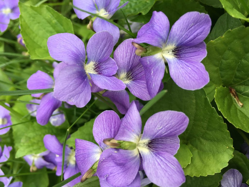 what to do with violets