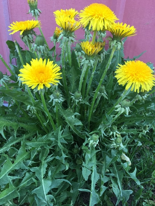 foraging dandelions to prepare for a food shortage