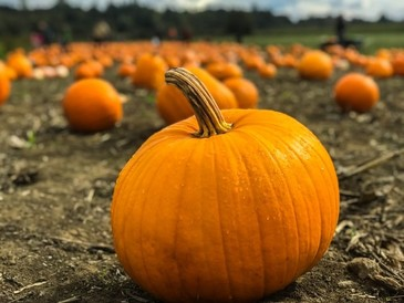 old fashioned pumpkin patch